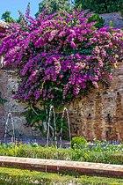 Bougainvillée Generalife Espagne.jpg