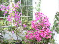 Bougainvillea at Roseland (DSCN0556).jpg