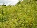 Brachypodium pinnatum kz02.jpg