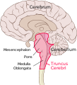 Brain sagittal section stem highlighted.svg