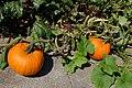 Brampton ON Homegrown-Pumpkins 2017-09-02 (2).jpg