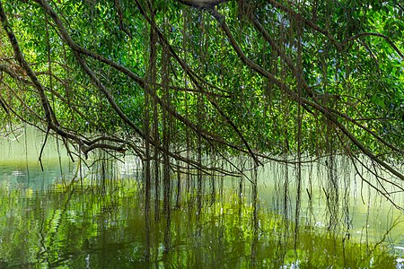 Branches of a 150 year-old Ficus kurzii (Burmese Banyan) reflecting in the water of the Swan Lake, at Singapore Botanic Gardens