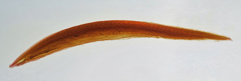 File:Branchiostoma lanceolatum (Pallas, 1774).jpg