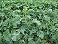 Brassica napus habit3 (14494788558).jpg