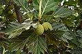 Breadfruit 1.jpg