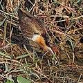 Bronze-winged jacana (Metopidius indicus) immature 4.jpg