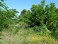 Brownfield with shrubs at Siemens-Luftfahrtgerätewerk 2019-06-27 3.jpg