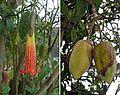 Brugmansia sanguinea - Flickr - Dick Culbert.jpg