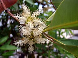 Brush Box tree flowers.jpg