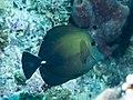 Brushtail tang (Zebrasoma scopas) (37188513071).jpg