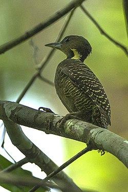 Buff-necked Woodpecker - Thailand S4E3663 (16222853798).jpg