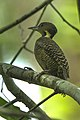 Buff-necked Woodpecker - Thailand S4E3663 (16222853798).jpg