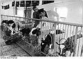 Bundesarchiv Bild 183-1983-0304-006, Lanz, Begutachtung von Kälbern.jpg
