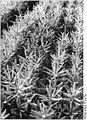 Bundesarchiv Bild 183-1989-0112-005, Falkenhain, Baumschule, Fichten.jpg