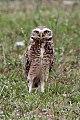 Burrowing Owl (Athene cunicularia) (8077636714).jpg