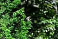 Burung Bondol Jawa 01.jpg