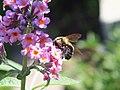 Busy Bee (122188273).jpeg