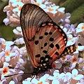 Butterfly - Acraea horta - garden acraea (38152922362).jpg