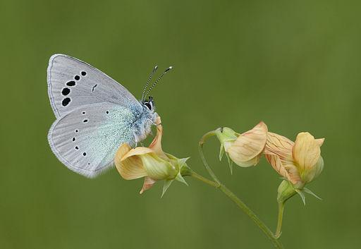 Butterfly Green-underside Blue - Glaucopsyche alexis 01