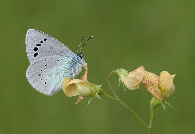 File:Butterfly Green-underside Blue - Glaucopsyche alexis 01.jpg