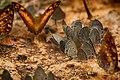Butterfly in Kaeng Krachan National Park (3).jpg