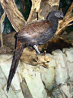 Mountain peacock-pheasant species of bird