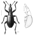 COLE Apionidae Cecidophyus nothofagi.png