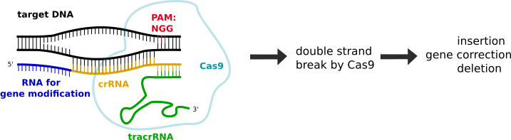 CRISPR-Cas9 mode of action