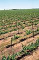 CSIRO ScienceImage 4694 McWilliams Wines vineyard at Hanwood near Griffith NSW.jpg