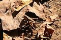 Caelifera 2 Shawnee NF.jpg