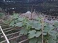 Calabash (Lau) Vegetable.jpg