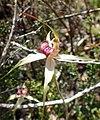 Caladenia valida - cropped.jpg