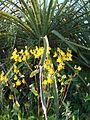 Calceolaria corymbosa Ruiz & Pav 4 by Pato Novoa.jpg