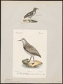 Calidris arenaria - 1700-1880 - Print - Iconographia Zoologica - Special Collections University of Amsterdam - UBA01 IZ17400279.tif