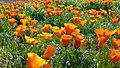 California Poppies (33516571976).jpg