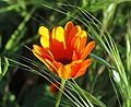 California Wildflower, Redlands 3-13-16 (25664972701).jpg