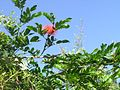 Callistemon Flower Sky 2.jpg