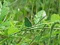 Callophrys rubi, Sićevačka klisura, Niš, Serbia (33).jpg