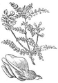 Calophaca wolgarica - Loudon - fig. 399.png