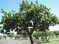 Calophyllum inophyllum (5737910336).jpg