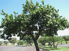 240px-Calophyllum_inophyllum_%285737910336%29.jpg