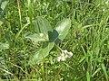 Calotropis giganteaRHu2.JPG