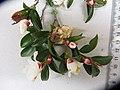 Camellia lutchuensis lutchuensis T.Itô ex T.Itô and Matsum. (AM AK326495-1).jpg