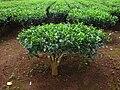 Camellia sinensis (2).jpg