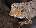 Cameroon Stumptail Chameleon (Rhampholeon spectrum) (7667982628).jpg