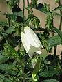 Campanula punctata kurokawae (14145531206).jpg