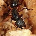 Camponotus ligniperda.jpg