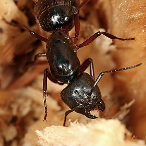 Description de l'image Camponotus ligniperda.jpg.