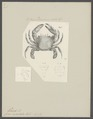 Cancer sexdentatus - - Print - Iconographia Zoologica - Special Collections University of Amsterdam - UBAINV0274 094 21 0003.tif