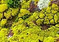 Candelariella coralliza Chambre au Loup 2010-01-29 23.jpg